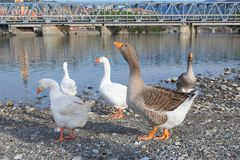 White and gray geese at the mouth of the river Entella - Chiavari - Italy. Europe Stock Photos
