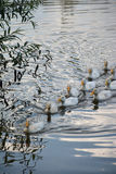 White gray geese in the village Royalty Free Stock Photos