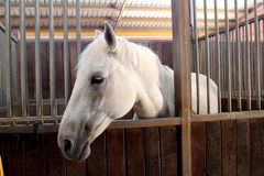 White and gray horse in wooden stable in foreground royalty free stock photography