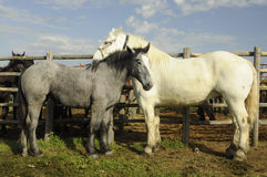 White and gray horses Royalty Free Stock Image