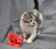 White with gray kitten Stock Images