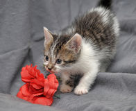 White with gray kitten Royalty Free Stock Image