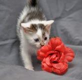 White with gray kitten Royalty Free Stock Photos