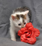 White with gray kitten Royalty Free Stock Photo