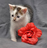 White with gray kitten Royalty Free Stock Photo