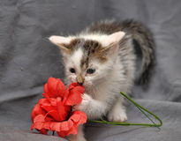 White with gray kitten Royalty Free Stock Images