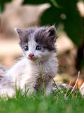 White and gray kitten sits on grass Stock Image