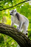 White and Gray Lemur on Tree Trunk Stock Images
