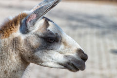White Gray Llama in profile. A White Gray Llama in profile in the zoo Royalty Free Stock Photo