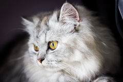 White and Gray Long Coated Cat Stock Image