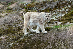 White-gray lynx on rock. Looking white-gray lynx walking on rock Royalty Free Stock Images