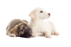 White and gray puppy Royalty Free Stock Image