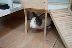 White and gray rabbit stock images