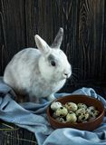 White-gray rabbit sitting near quail eggs on a dark wooden background. Easter day royalty free stock image