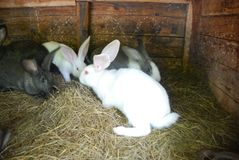 White and gray rabbits are riding hay. Little  rabbits. The farm for the production of dietary meat Royalty Free Stock Photo