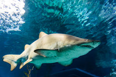 White and gray ragged tooth shark Royalty Free Stock Photos