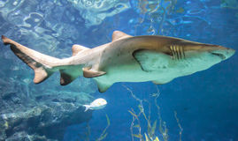 White and gray ragged tooth shark Royalty Free Stock Images