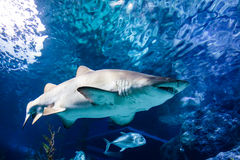 White and gray ragged tooth shark Stock Photos