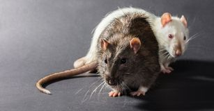 White and gray rats Royalty Free Stock Photo