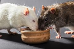 White and gray rats eat Stock Image