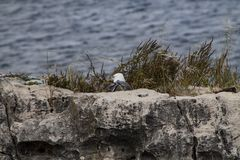 White and gray seagull bird strolls royalty free stock photography
