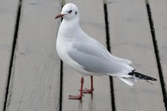 White and gray seagull at seaside royalty free stock photo