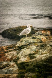 White and Gray Seagull Standing on Shore Rocks Stock Images