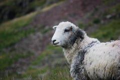 White and Gray Sheep Stock Photo