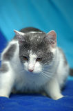 White with gray shorthair cat Stock Photo