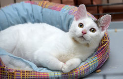 White with a gray spot cat Royalty Free Stock Photos