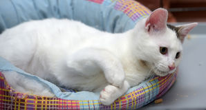 White with a gray spot cat Royalty Free Stock Photography