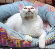 White with a gray spot cat Royalty Free Stock Photo