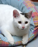 White with a gray spot cat Stock Images