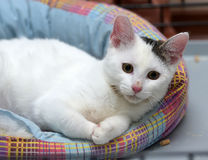 White with a gray spot cat Royalty Free Stock Images