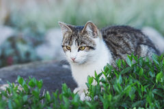 White and gray striped tabby cat sitting in a garden. Surrounded by small shrubbery royalty free stock photos