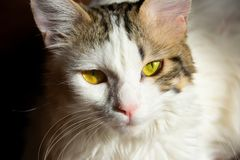 White gray tabby young kitten cat with beautiful yellow green eyes. Closeup of cute white gray tabby young kitten cat with beautiful yellow green eyes sitting in royalty free stock images
