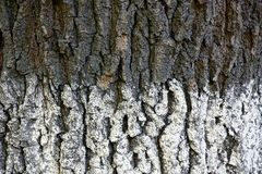 White gray texture of a bark of a big tree Royalty Free Stock Photo