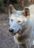 White gray wolf Royalty Free Stock Images