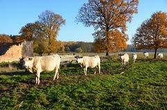 White Grazing cows Charolais in a meadow Royalty Free Stock Image