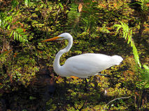 White Great Egret Bird Royalty Free Stock Photo