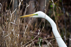 White Great Egret bird, Okefenokee National Wildlife Refuge Stock Photography