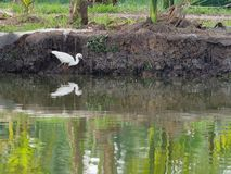 White great egret bird stalking and wading for hunting fish by fish pond in fish farm Royalty Free Stock Image