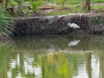 White great egret bird stalking and wading for hunting fish by fish pond in fish farm Stock Photos