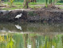 White great egret bird stalking and wading for hunting fish by fish pond in fish farm Stock Photo