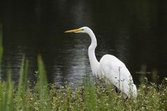 White Great Egret bird, Walton County, Georgia USA Stock Images