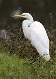 White Great Egret bird, Walton County, Georgia USA Stock Photo
