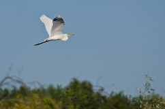 White Great Egret Flying Above The Marsh Stock Images