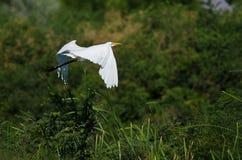 White Great Egret Flying Above The Marsh Stock Images