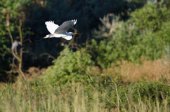 White Great Egret Flying Above The Marsh Royalty Free Stock Images