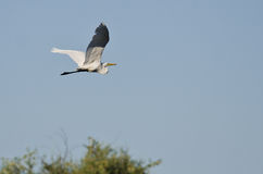White Great Egret Flying Above The Marsh Stock Photo